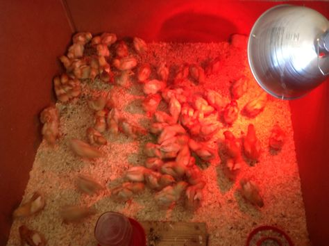 2 week old chicks enjoying their sprouted fodder!
