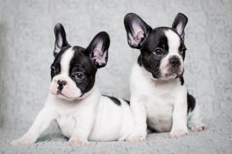 French Bulldogs Sitting