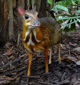 Chevrotain, or the mouse-deer, the world's smallest hoofed animal. Native to Southeast Asia
