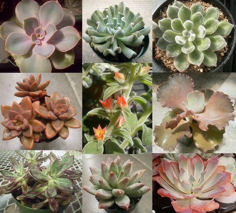 Rumble Among The Jungle Match 4 5 Echeveria Gardening Blog