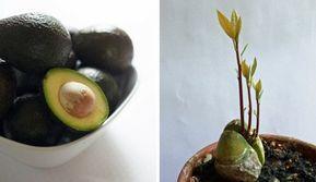 Comment Planter Un Avocat Avec Un Noyau Comment Planter Un