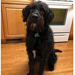 Columbus Ohio Labradoodle Meet Buddy Muffin A For Adoption