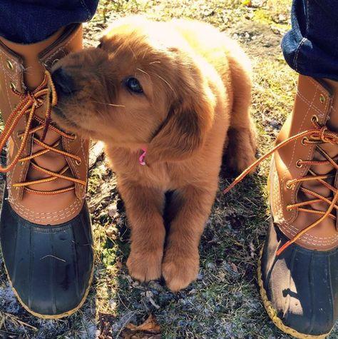 Nom nom nom. (Photo via Instagram: maddielynnthegolden) L.L.Bean Boots with puppy.