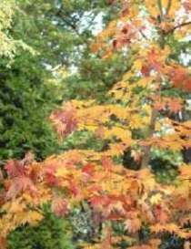 especies de frondosas de hoja perenne