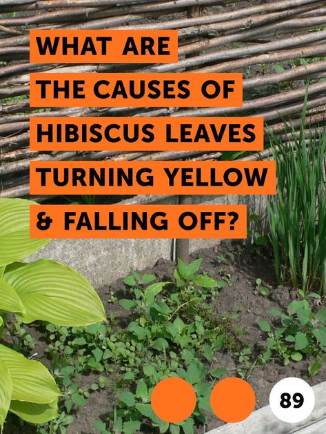 Learn What Are The Causes Of Hibiscus Leaves Turning Yellow Falling Off How To Guides Tips And Tricks Hibiscus Leaves Plant Leaves Turning Yellow Hibiscus Plant