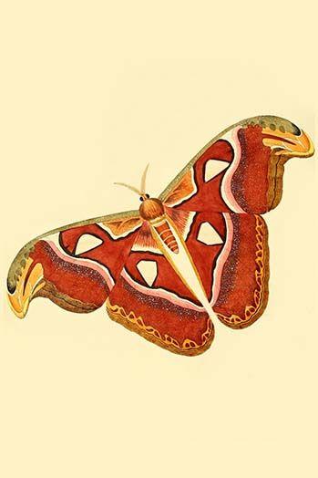 Surinam Butterflies Moths Caterpillars By Jan Sepp 60 Art Print Postercrazed In 2020 Butterfly Painting Art Moth Caterpillar