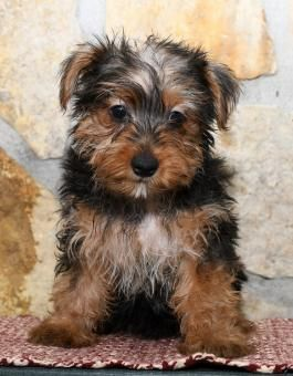 Mark Yorkshire Terrier Puppy For Sale In Hagerstons In With Images Yorkshire Terrier Puppies Yorkshire Terrier Puppies For Sale