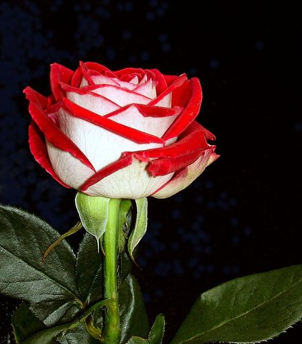 A Single Rose Of Any Color Is My Favorite Beautiful Flowers Garden Rose Rose Pictures