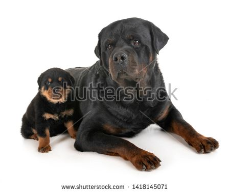 Stock Photo Puppy And Adult Rottweiler In Front Of White