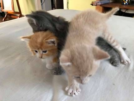 Kittens For Sale Brisbane Area Ginger Females Cats