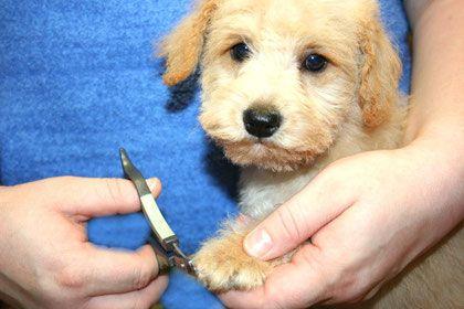 Wie Pflege Ich Meinen Schnoodle Schnoodle Hybridhunde Aus Zwergschnauzer Und Zwergpudel Doodle Zwergpudel Schnauzer Hunde Bekleidung