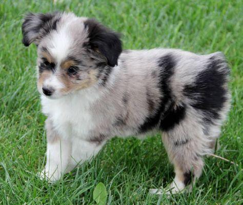 Toy Mini Australian Shepherd Pups For Sale Co Tug Yurhart Australian Shepherd Aussie Puppies Mini Australian Shepherds