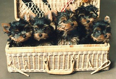 Pin By Dee Weidler On A Tisket A Tasket Yorkies In A Basket