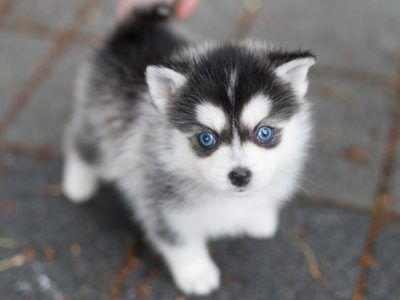 All Puppies For Sale - Teacup Dogs for Sale - Teacup Pomsky, Pom, Poodle