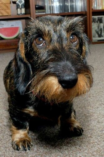 Supadogs Wirehaired Dachshund Wire Haired Dachshund Dachshund Breed Dachshund