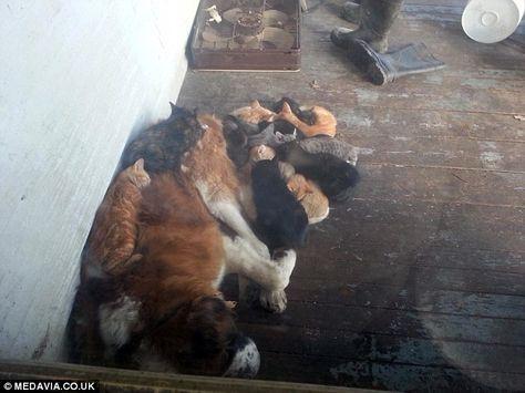 """Mais même pendant l'été, ils ont continué à dormir près de lui. """"Je pense qu'ils font ça pour être près d'une autre créature tout simplement"""" explique Keegan Vansoelen. Tous ces chats errent aux abords d'une grange proche de sa ferme. """"Parfois, il n'y en a que 3 ou 4, d'autres fois, il y en a beaucoup plus. Je pense en avoir compté 16 une fois"""" dormant sur Yankee, raconte-t-il. Et il faut bien avouer que ce magnifique Saint-Bernard semble être un dodo des plus confortables !"""