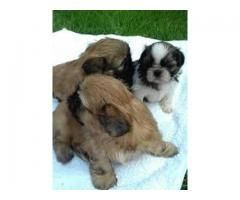 4 Generation Pedigree Champion Lines Shih Tzu Puppy Available For