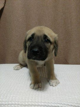 Anatolian Shepherd Puppy For Sale In Asheville Nc Adn 64134 On