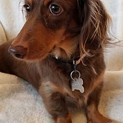 Available Pets At Little Paws Dachshund Rescue In Orangeburg South Carolina Dachshund Rescue Dachshund Dachshund Adoption