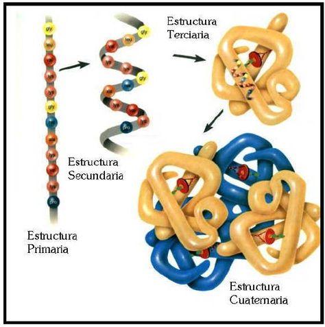 Estructura De Las Proteínas Estructura De Las Proteinas