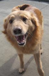 Adopt Ted Allen Co On Dogs Golden Retriever Retriever Dog
