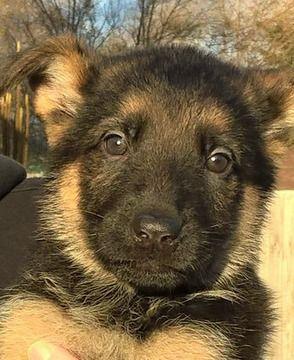 German Shepherd Dog Puppy For Sale In Spokane Wa Adn 56606 On