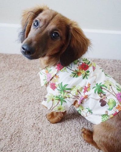 Dachshund Accessories For Dogs Dachshund Central Dachshund Clothes Dachshund Accessories Dachshund Breed