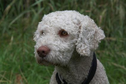 Spanischer Wasserhund Perro De Agua Espanol Markt De In 2020 Spanischer Wasserhund Susse Tiere Welpen