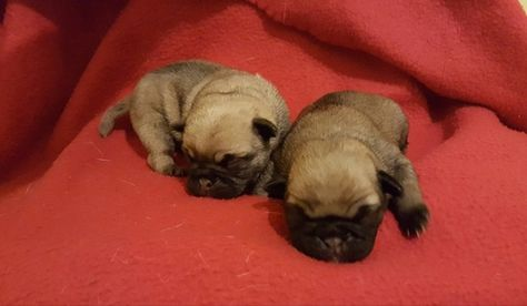 Teacup Two Cute Baby 12 Weeks Male And Female Pug Puppies For Sale