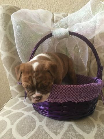 Litter Of 4 Olde English Bulldogge Puppies For Sale In Hot Springs