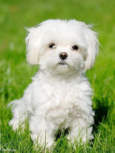 Oh My Heart I Need This Maltese Cute Animals Cute Dogs