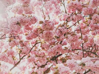 Japan 2020 Cherry Blossom Festival Updated Dates Floral Background Hd Flower Backgrounds Flower Images