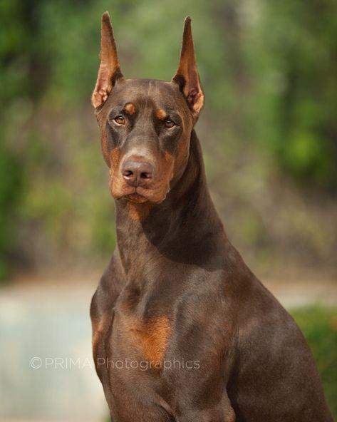 Mini Pinscher Dog Doberman Pinscher Life Expectancy Akc Mini... #miniaturepinscher #pinscherminiature #dobermanpinscher