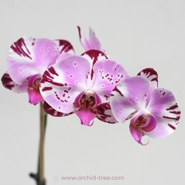 Phalaenopsis Shu Long King Phalaenopsis Orchid Phalaenopsis Orchids