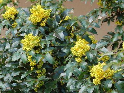 Mahonia Pospolita Uprawa Ciecie Rozmnazanie Plants