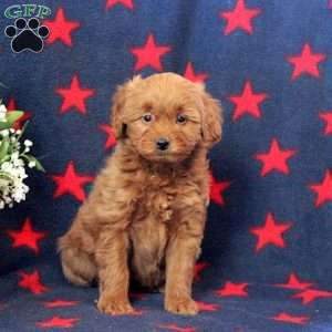 [11+] Goldendoodle Puppies To Sale At Sea Lake