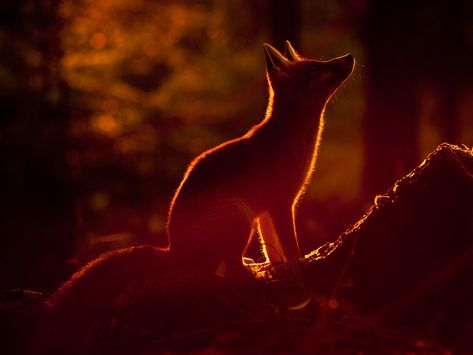 Fox by Klaus and Christiane Echle (www.echle-naturfoto.de) ~ you'll find many other beautiful pictures on their page!