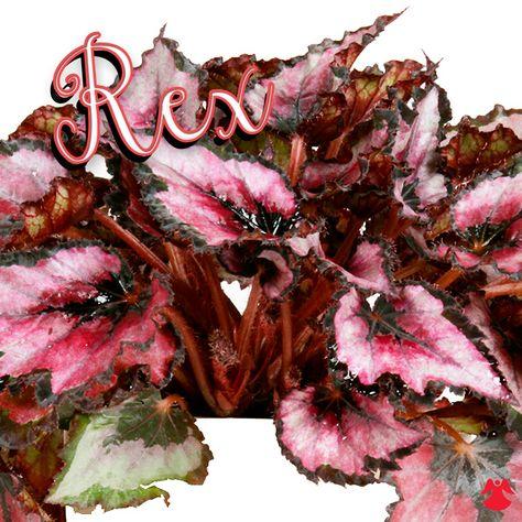 Rex Begonia Helen Teupel Deepest Red Violet Heart Fades To Rose