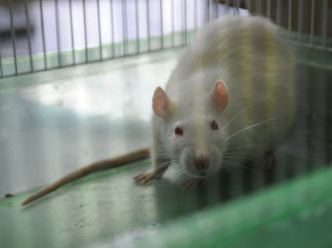 WOW!!!:  Scientists hope a new genetically modified rat will help them find Alzheimer's drugs that work on humans.
