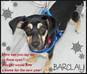 Adopt Barclay On Dog Training Near Me Dog Boarding Near Me Dog Clinic