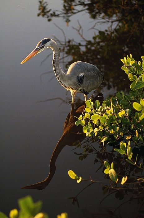 Great Blue Heron - they are so majestic. I have these in my backyard in winter.