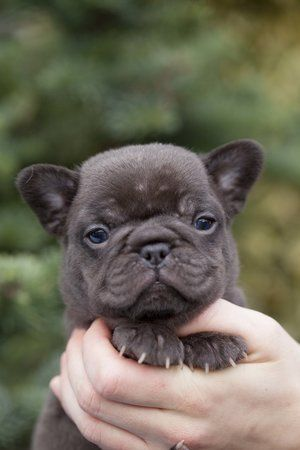 Chocolate French Bulldog Puppy Now Living In Washington State