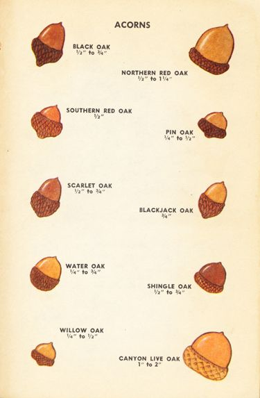 Acorns, iIllustrations by Dorothea and Sy Barlowe, 1952