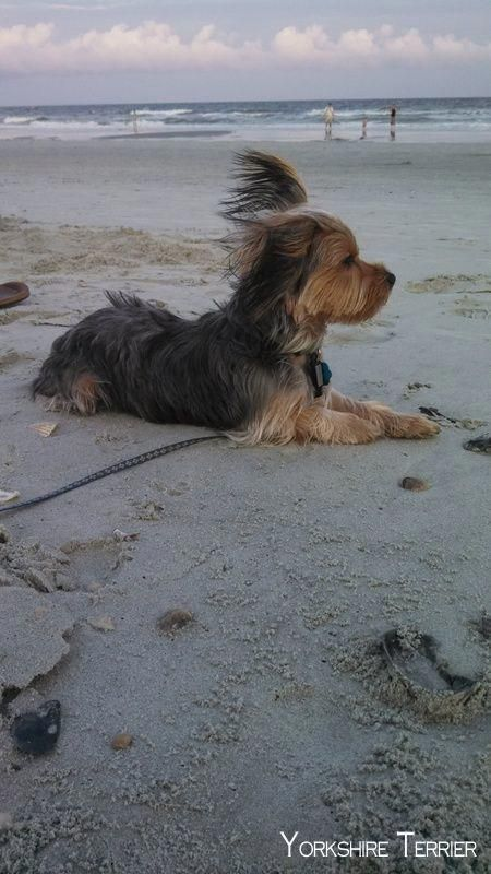 Yorkshire Terrier Energetic And Affectionate In 2020 Yorkshire Terrier Puppies Yorkie Puppy