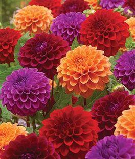 Dahlia Summer Tango Collection Annual Flowers Flower Seeds Dahlia