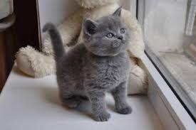 British Short Hair Kittens For Sale Waz Zap What Sapp 60172415563 For Sale Adoption From Kuala Lumpur Adpo British Shorthair Kittens Cute Cat Breeds Kittens