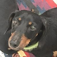 Available Pets At All Texas Dachshund Rescue In Pearland Texas Dachshund Adoption Dachshund Rescue Dog Adoption
