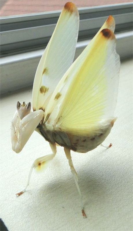 Adult Female Hymenopus Coronatus Orchid Mantis In A Threat Display Orchid Mantis Orchids Bugs And Insects