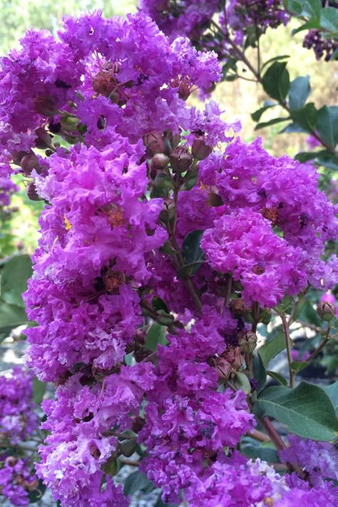 Buy Twilight Purple Crape Myrtle For Sale Online From Wilson Bros Gardens Crape Myrtle Trees To Plant Myrtle Flower