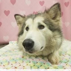 Pictures Of Chelsea A Alaskan Malamute For Adoption In Tangent Or